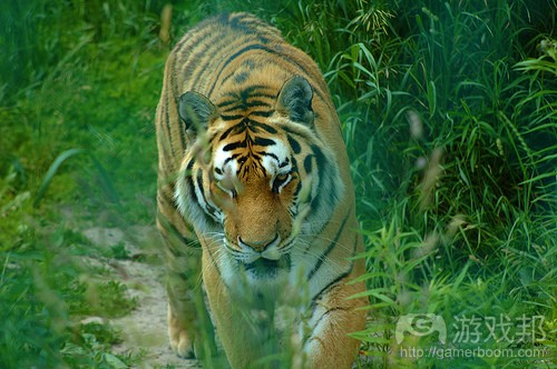 tiger(from gamearch)
